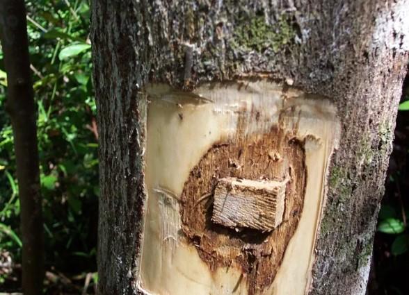 Karakteristik Pohon Gaharu